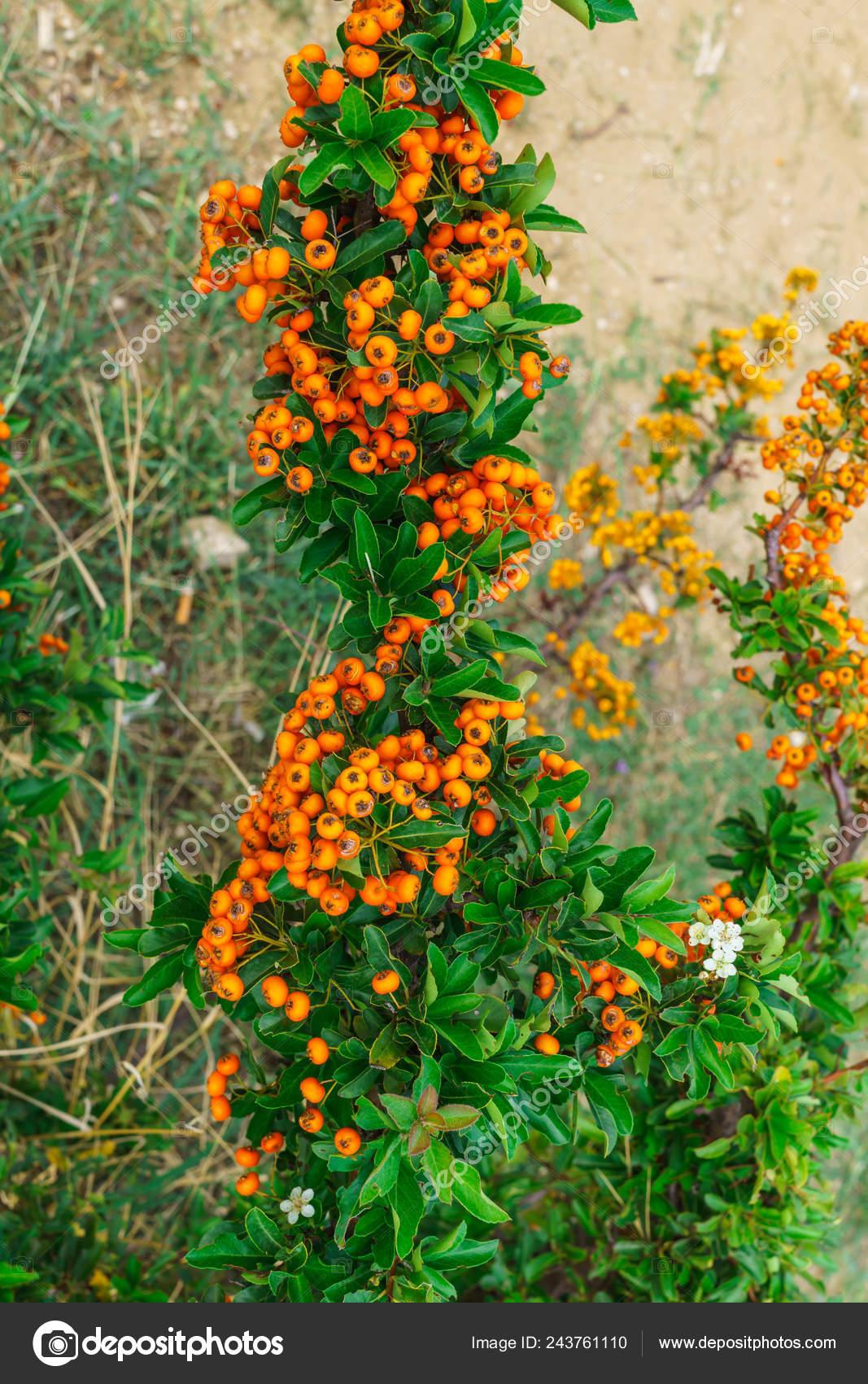 Decorative Bush Orange Berries Pirakanta Park Stock Photo