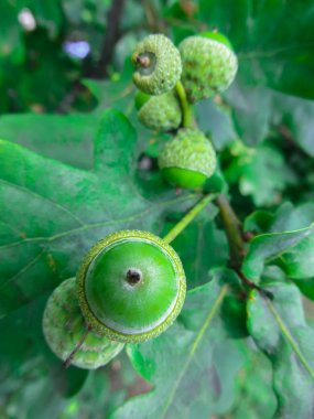 green acorns on the branches of oak.