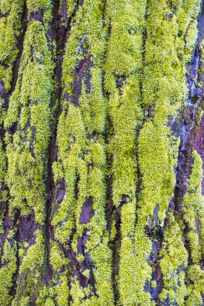 Smooth Old tree bark background with moss.Tree bark texture for creative designs.