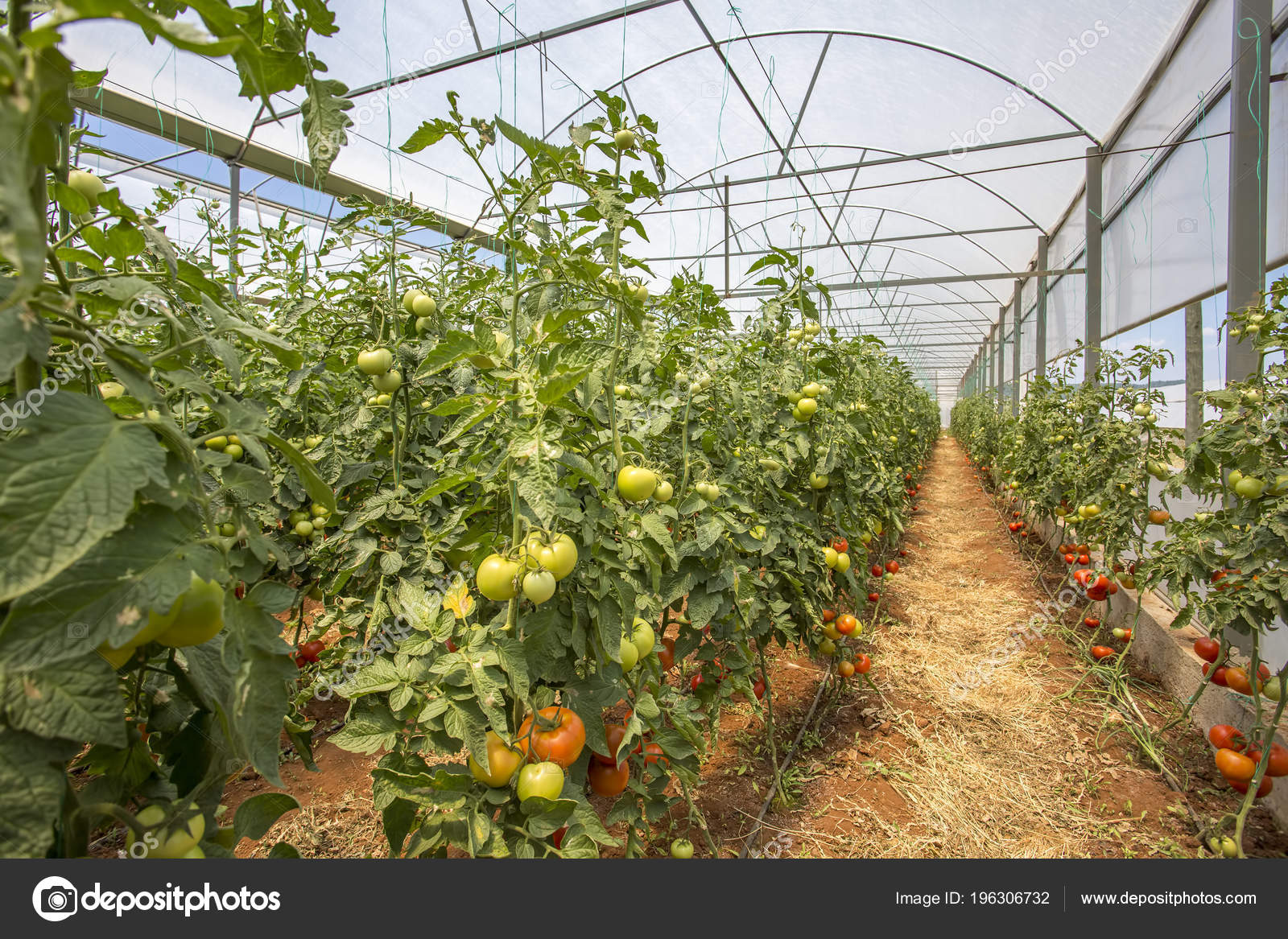 Tomatoes Field Greenhouse Agriculture — Stock Photo