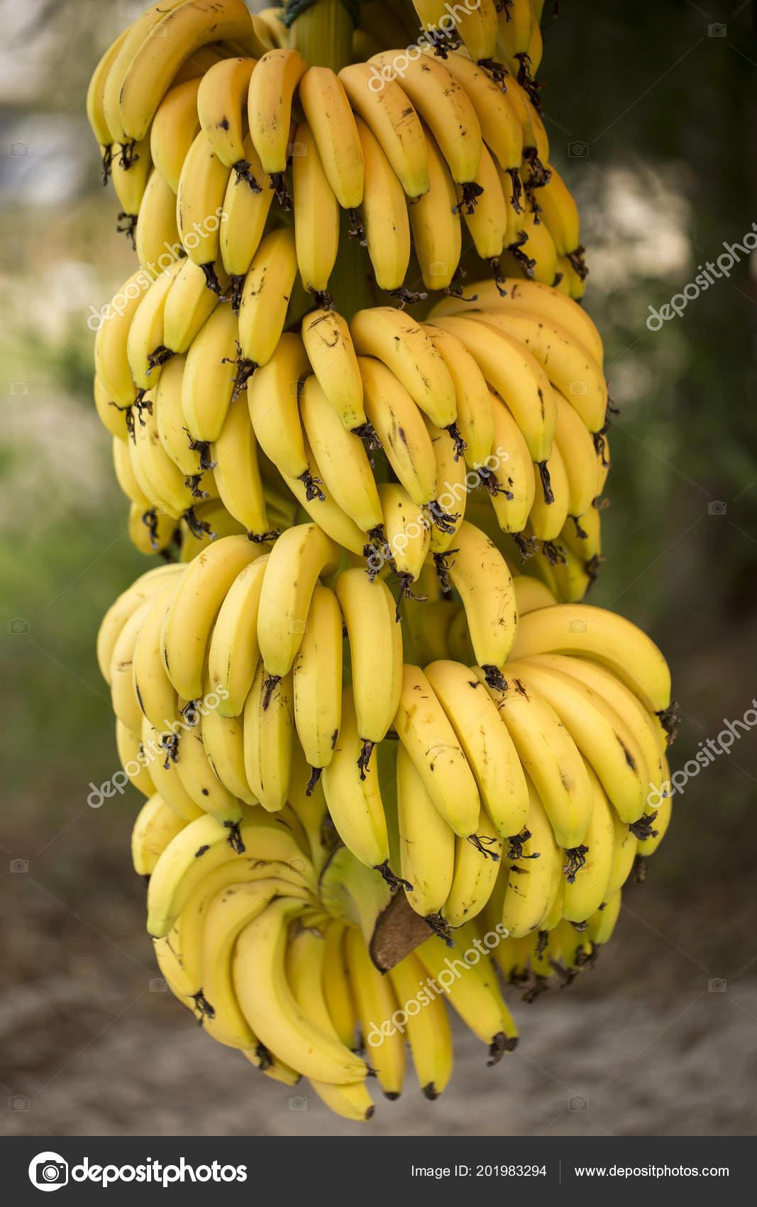 Banana Fruit Tree Agriculture Stock Photo C Esindeniz 201983294