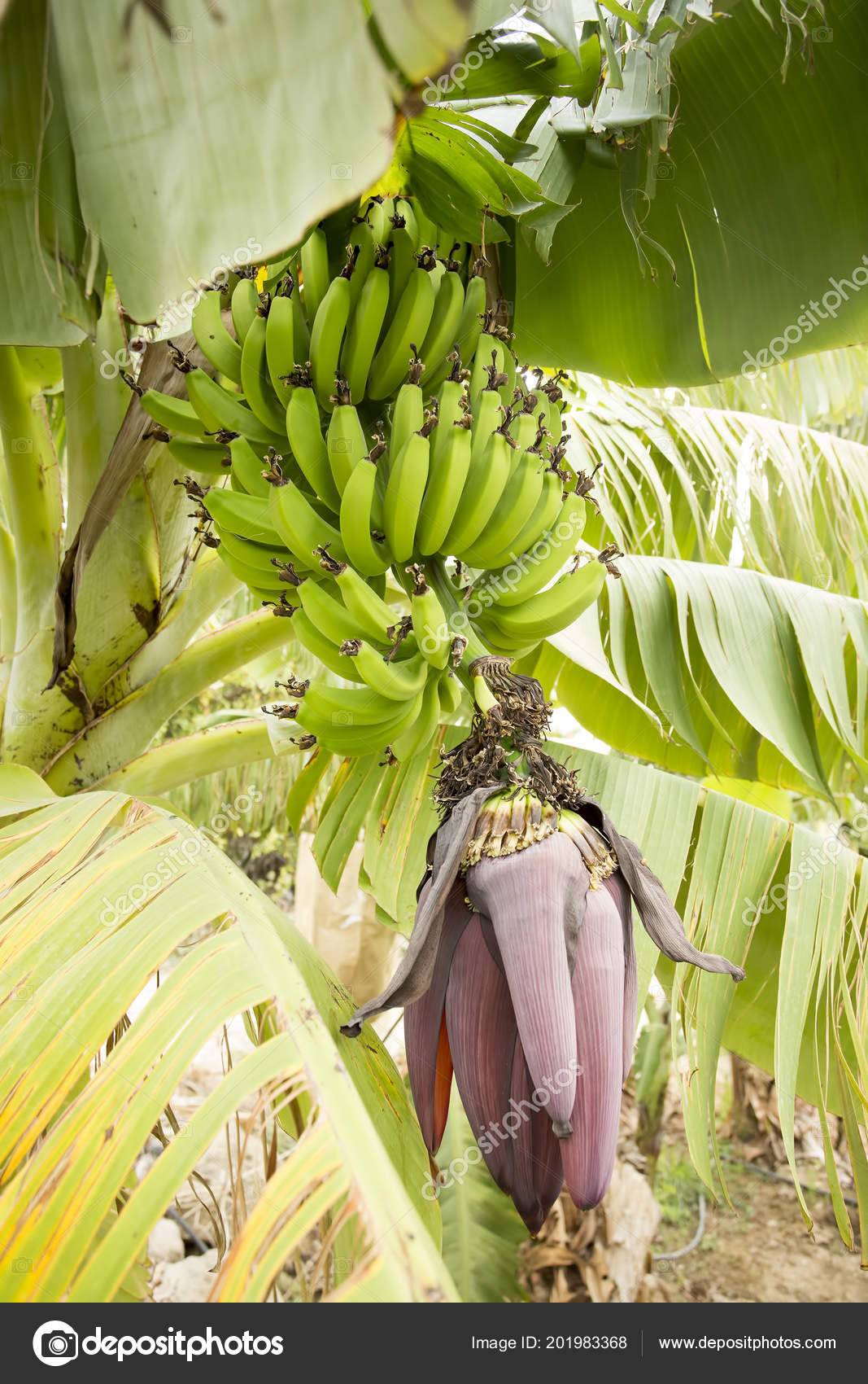 Banana Fruit Tree Agriculture Stockfoto C Esindeniz 201983368