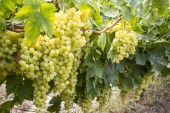 Grapes vineyard (Turkey Izmir grapes vineyards agriculture)