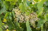 The grapes vineyard, agriculture (Turkey Izmir vineyards)
