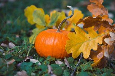 close-up  orange pumpkin a yellow autumn garden park   celebrates Halloween with  leaves