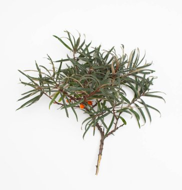 A broken sprig of sea buckthorn with fresh leaves and a few berries on a white background for insertion into the layout design. Top view. stock vector