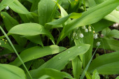 Background image of Lily of the valley blooming plants with dew drops