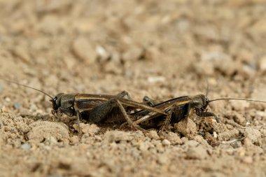Closeup mating crickets (Melanogryllus desertus) on a sand  in desert at sunny day.