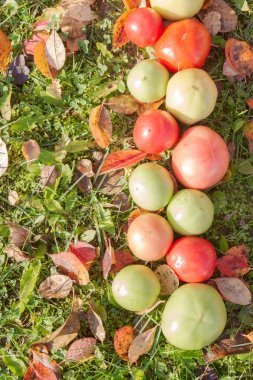 Colorful tomatoes on autumn grass with leaves in Sunny weather