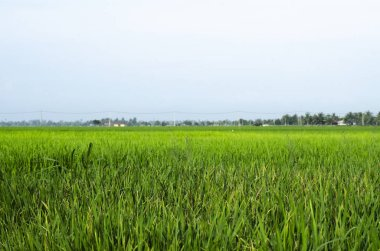 Rural area view surrounding with beautiful landscape of green paddy rice field
