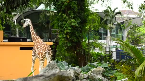 Giraffe (giraffa camelopardalis), stojící v zoo v kleci