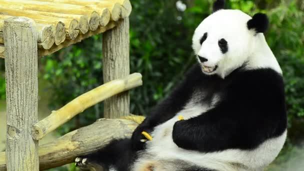 Čas krmení, pandu jíst zelené bambusové listy