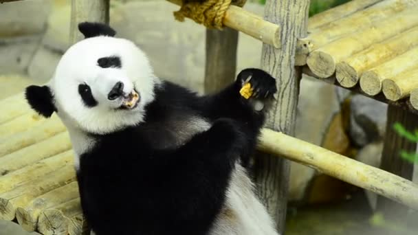 Feeding time, giant panda eating green bamboo leaves