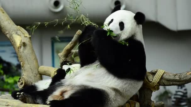 Feeding time, giant panda eating green bamboo leaves