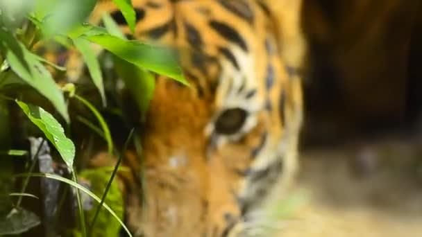 zblízka a selektivní zaměření, malajského tygra (Panthera tigris jacksoni) v zoo