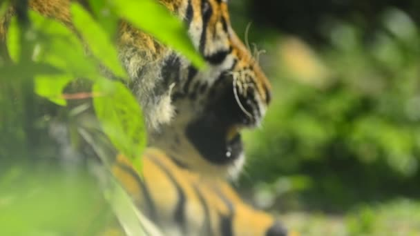 primo piano e selettivo, tigre malese (Panthera tigris jacksoni) nello zoo