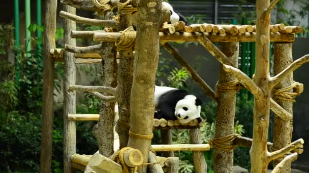 giant panda in the zoo sleeping on wooden benches