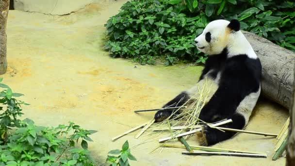 szép óriás panda az állatkertben étkezési bambusz