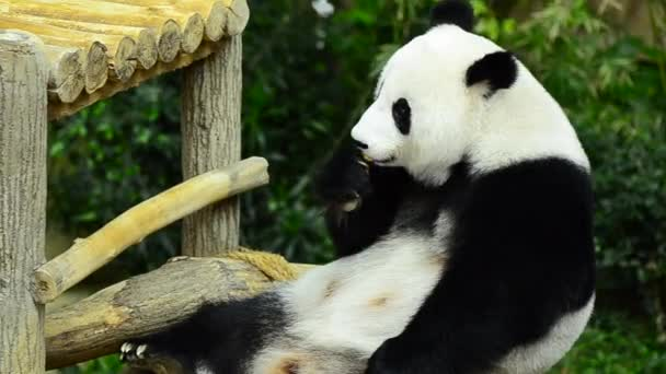 lovely giant panda in the zoo eating bamboo