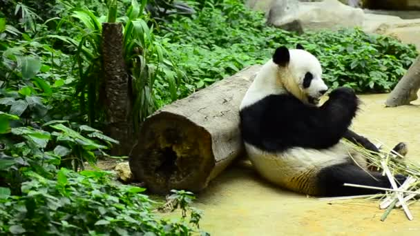 krásná Obří Panda v zoo pojídáním bambusu