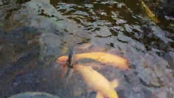 odrůda Koi ryba a kapr v řece