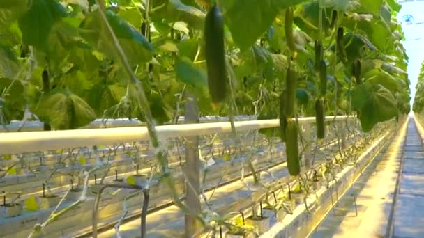 Cucumbers are being grown using hydroponics system