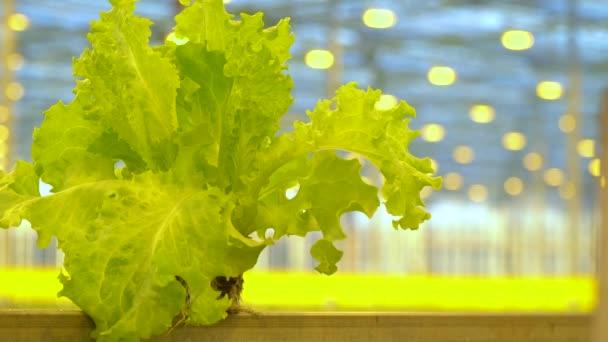 Svěží salát v hrnci, pěstování ve skleníku