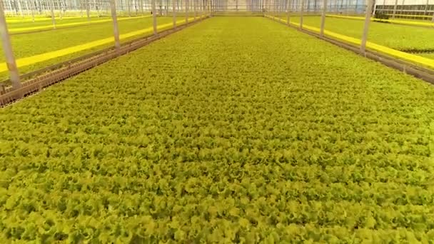 Modern glasshouse full of lettuce plants, from high angle