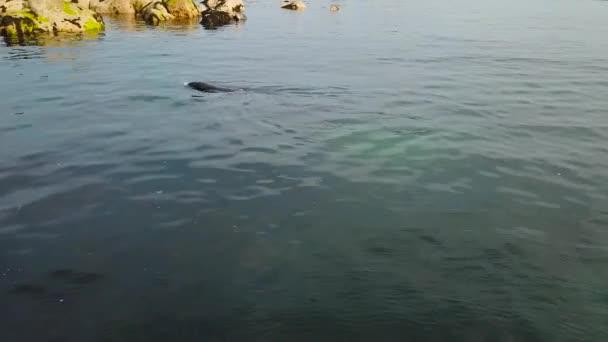 süße wilde Siegel Schwimmen im sauberen Blauwasser mit Felseninsel