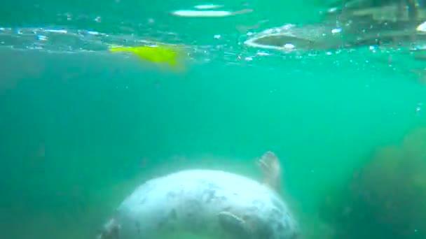 Unterwasser-Ansicht der niedlichen wilden Robbe im blauen sauberen Wasser