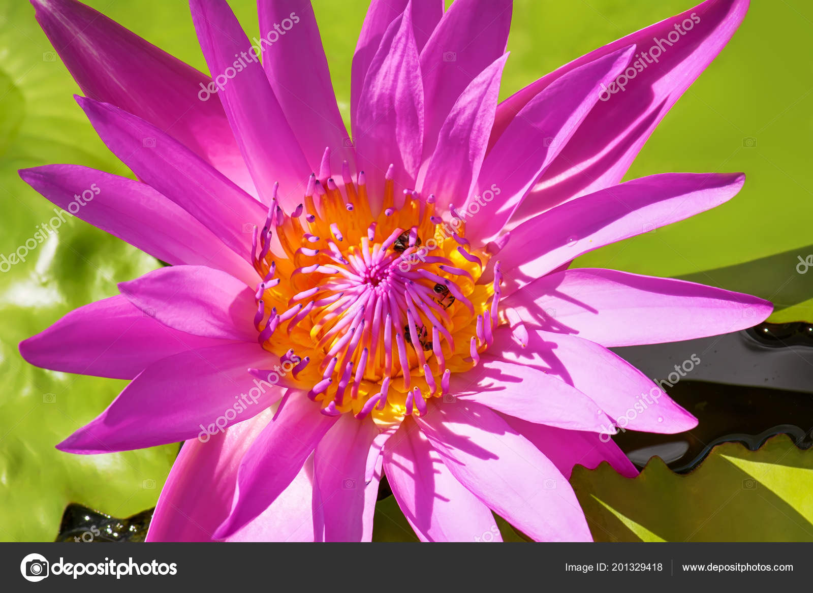 Bee eating pollen lotus nature background stock photo dsom bee eating pollen from lotus on a nature background photo by dsom mightylinksfo