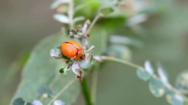 The ladybug eating food on a leaf on a nature background.