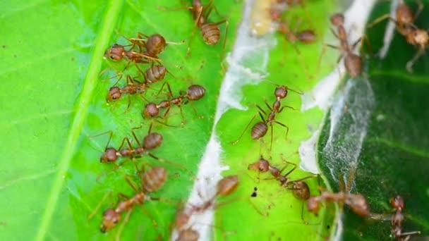 Sok vörös hangyák, mango felderítő hagy egy szeles napon.