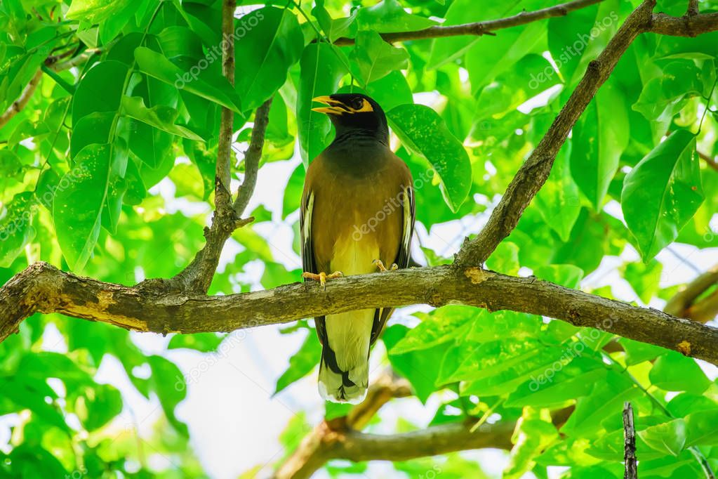Myna bird on the branch in a nature background.