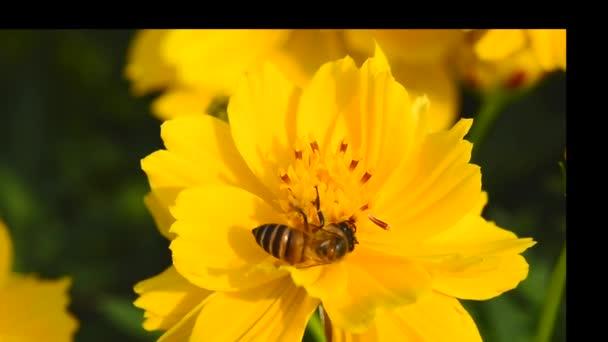 Včely jedí pyl z květin na zahradě.