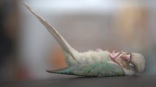 Zelená tvářemi papouška nebo zelená tvářemi conure spát na gauči.