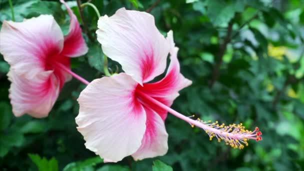 Hibiscus Virág és a szél fúj a természet háttérben. 4k lassú mozgás.