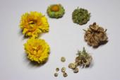 Sušená Calendula květiny pro domácí zdravotní péči