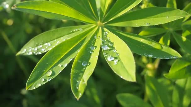 Lupine green leaves close up with a raindrop drop dew after rain on the sun. Nature summer background.