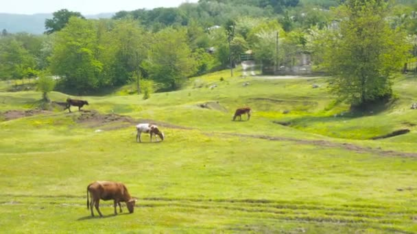 Domestic cattle breeding. Cows graze on the sun meadow. A herd of cows grazing on a green field with clover.