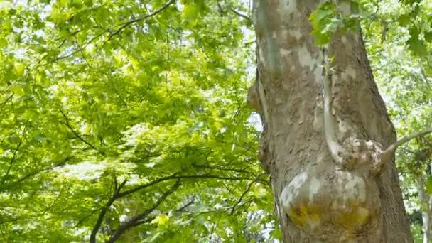 Dole pohled na strom mohutný Platan nebo Platanus v lese džungle. Sluneční paprsky v koruně stromu. Přírodní pozadí