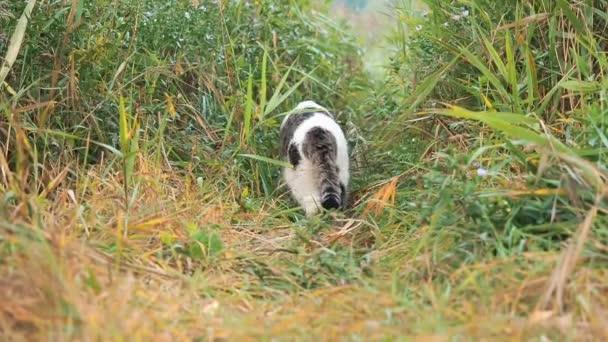 Fiatal, fehér-szürke cirby macska sétál a zöld fű. Hazai macska vadászat a laza. Macska ül a magas fűben. A macska settenkedik fel ragadozó a fűben. A macska szívesen a vadászat kívül.
