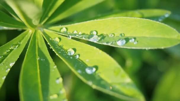 Csillagfürt zöld levelek közelről egy esőcsepp csepp harmat, eső után a nap. Természet nyári háttér