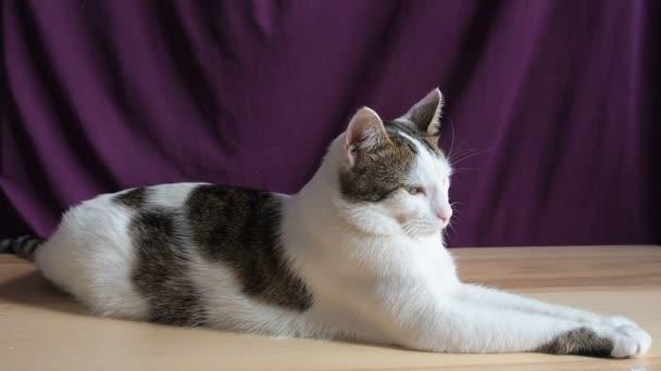 Portréja fiatal gőgös büszke Méltóságminden arrogáns Cat. Cirka macska néz ki, mint egy oroszlán twirls fejét figyel majd íjak fejét