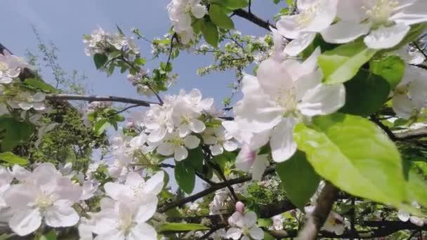 Cherry Blossom Tree, Sakura virág tavasszal. Természet-és Springtime háttér