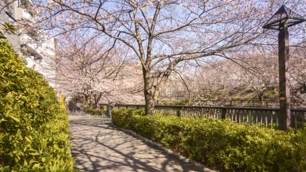 4k time lapse of motion blur of pedestrian at Meguro River Park, Tokyo during early cherry blossom (sakura hanami). It is one of the most famous places to view sakura flower. Tilt down