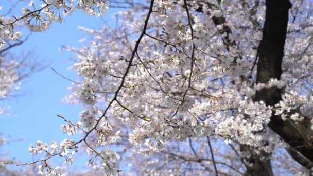 4k b-roll cinematic footage of Tokyo National Park during spring cherry blossom (sakura hanami). It is one of the most famous places to view sakura flower.