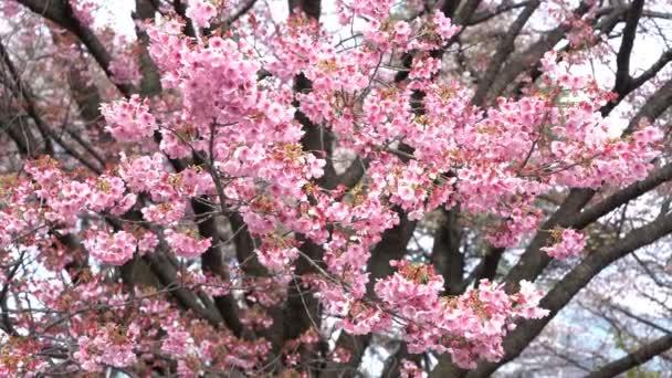 4k b-roll filmové záběry Tokijského národního parku během jarního květu třešní (sakura hanami). Je to jedno z nejznámějších míst k prohlížení sakura květiny.