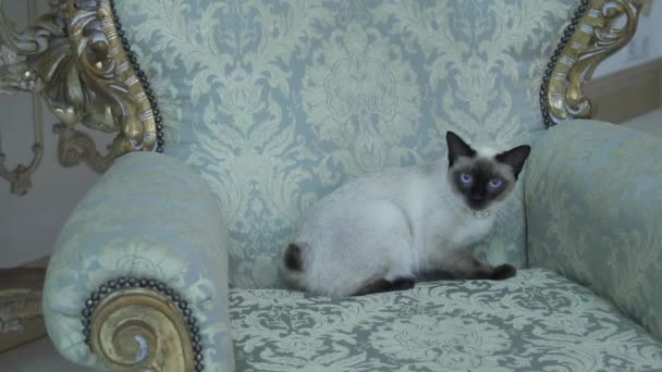 Beautiful rare breed of cat Mekongsky Bobtail female pet cat without tail sits interior of European architecture on retro vintage chic royal armchair 18th century Versailles palace. Baroque furniture