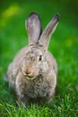 Close-up of a beautiful gray rabbit eating on a green grass lawn. Hare sits on green grass in summer on a sunny day. Vegan and meat-free diet. Fur is for animals only. Only artificial fur coat.